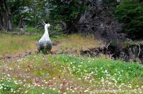 Un cauquén en PN Tierra del Fuego