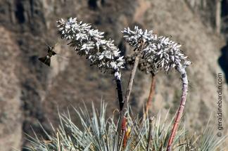 Colibrí en una flor de Puya