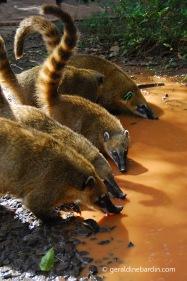 Coatis en PN Iguazú